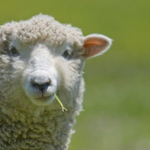 sheep-closeup-eating-grass